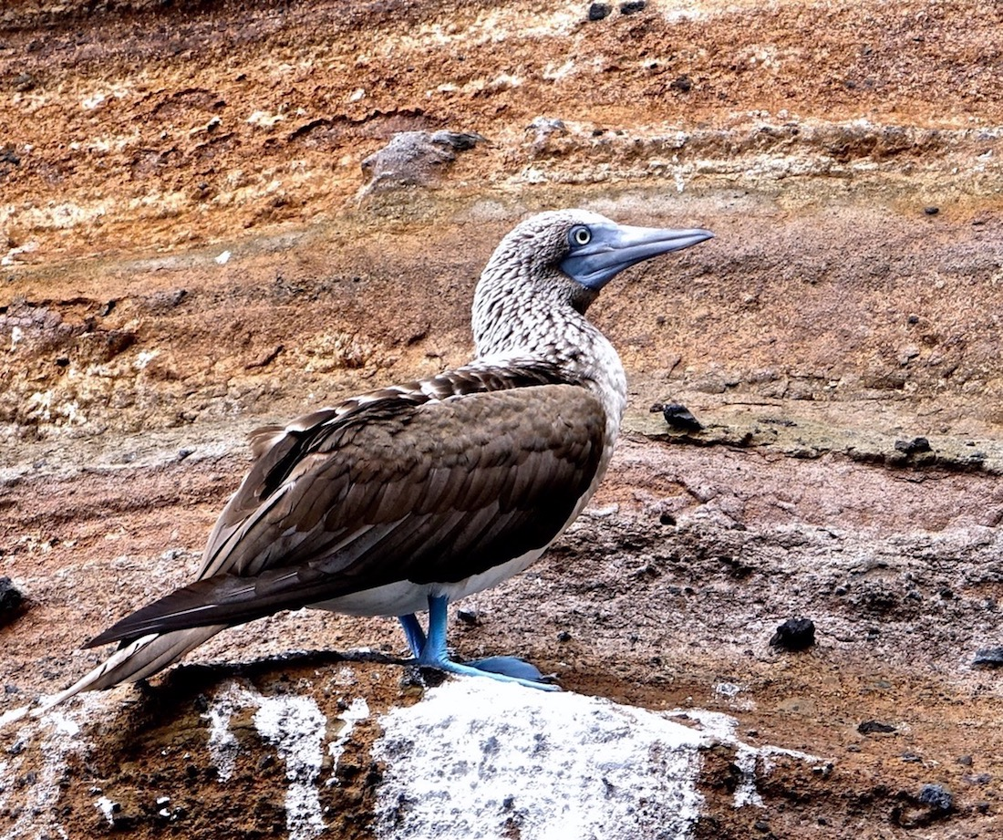Blue Footed Booby, Buccaneer's Cove, Santiago Island