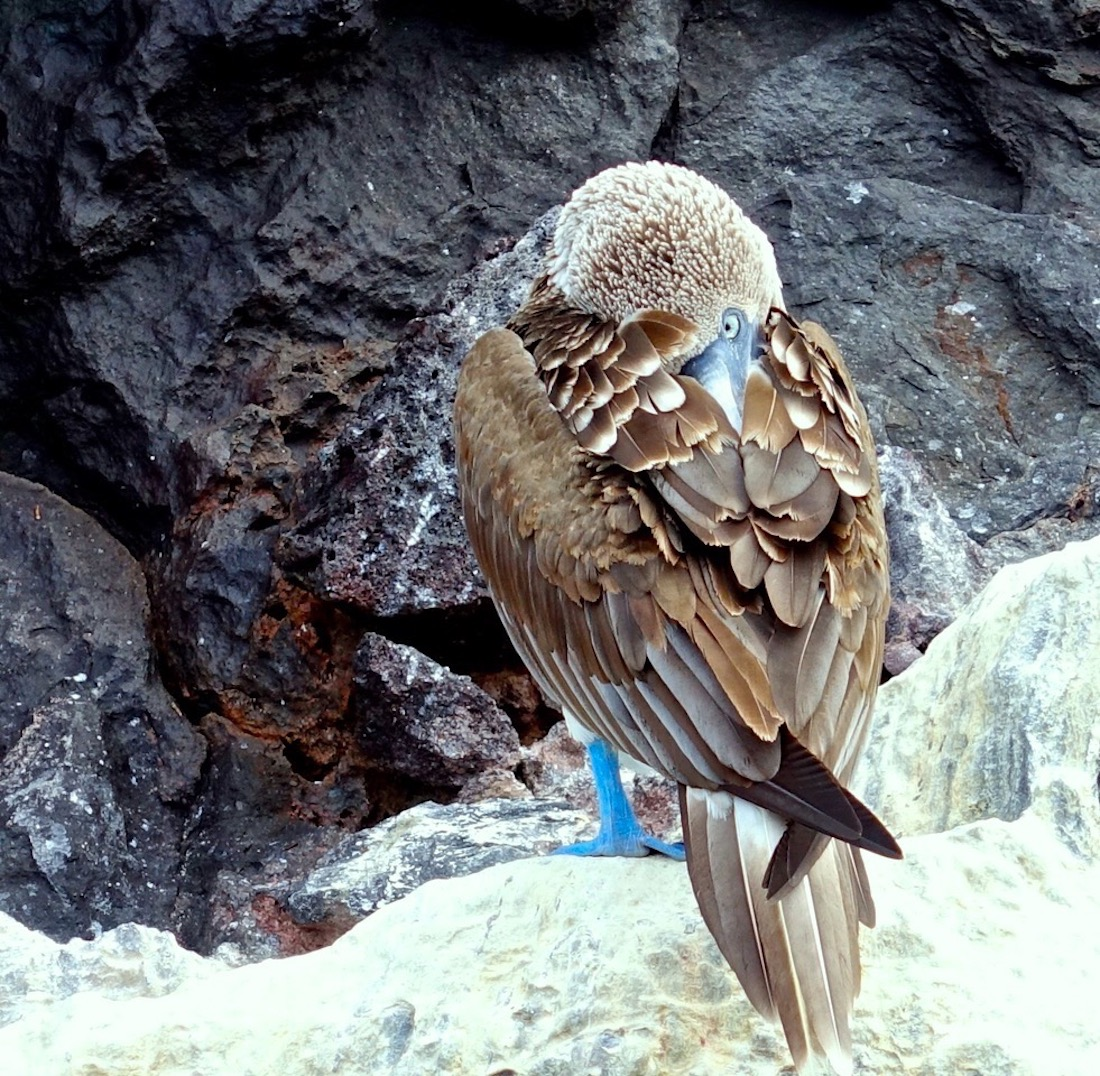 Blue Footed Booby, Buccaneer's Cove, Santiago Island_2