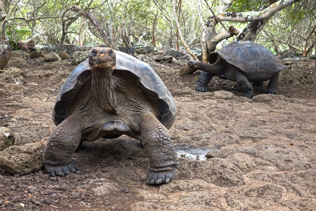 Giant Land Turtle Sanctuary, Baltra Island, Galapagos Islands, Ecuador_2
